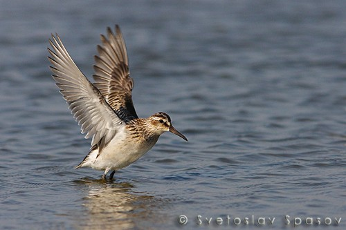 Broad-billed Sandpiper/Limicola falcinellus - Photographer: Светослав Спасов