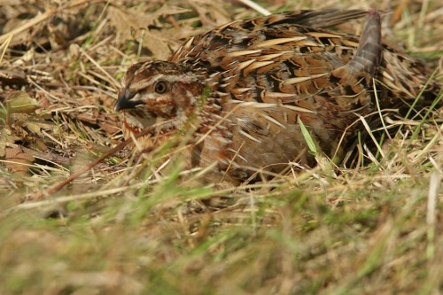 Common Quail/Coturnix coturnix - Photographer: Илиян Вълчанов