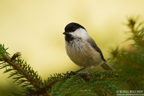 Willow Tit/Poecile montana - Photographer: Борис Белчев