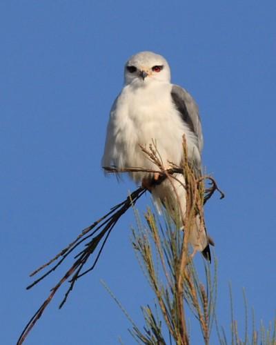 Black-winged Kite/Elanus caeruleus - Photographer: Владимир Георгиев