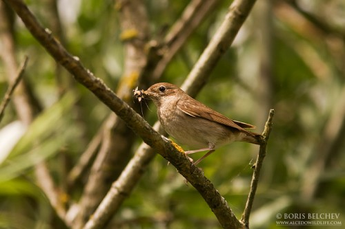 Thrush Nightingale/Luscinia luscinia - Photographer: Борис Белчев