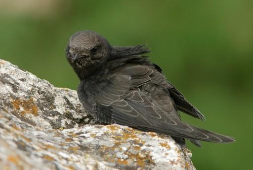 Common Swift/Apus apus - Photographer: Илиян Вълчанов