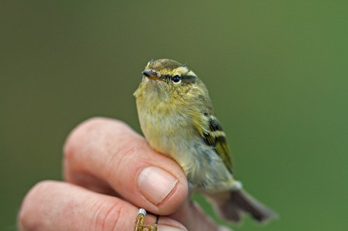 Yellow-browd Warbler/Phylloscopus inornatus - Photographer: Борис Белчев