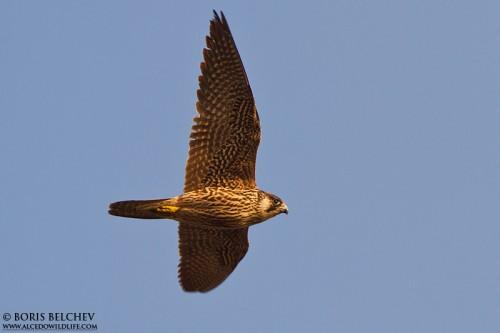 Peregrine Falcon/Falco peregrinus - Photographer: Борис Белчев