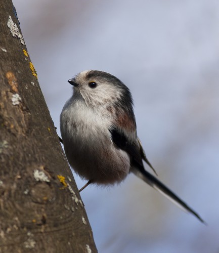 Long-tailed Tit/Aegithalos caudatus - Photographer: Светослав Митков