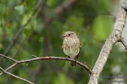 Spotted Flycatcher/Muscicapa striata - Photographer: Светослав Спасов
