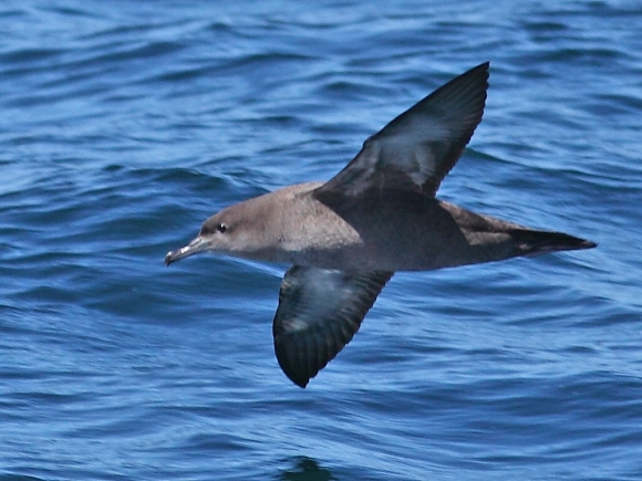 Sooty Shearwater/Puffinus griseus - Photographer: Даниел Митев
