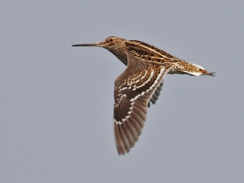 Great Snipe/Gallinago media - Photographer: Даниел Митев