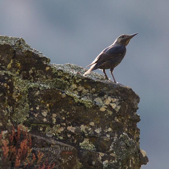 Blue Rock-thrush/Monticola solitarius - Photographer: Нончо Илиев