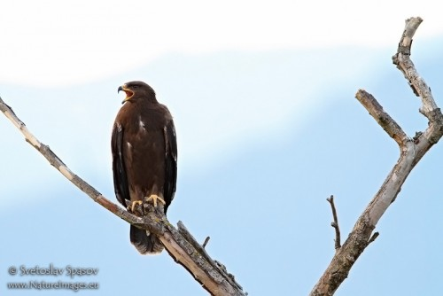 Lesser Spotted Eagle/Aquila pomarina - Photographer: Светослав Спасов