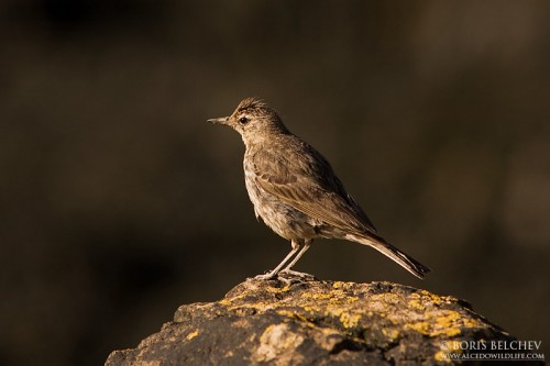 Rock Pipit/Anthus petrosus - Photographer: Борис Белчев