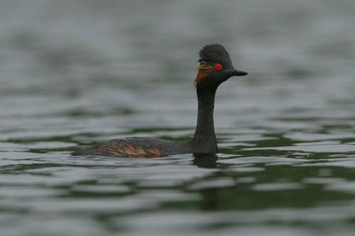 Black-necked Grebe/Podiceps nigricollis - Photographer: Илиян Вълчанов