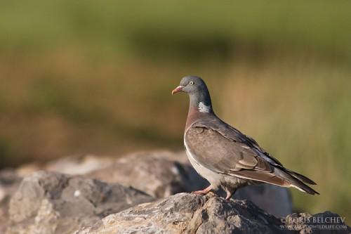 Common Wood-pigeon/Columba palumbus - Photographer: Борис Белчев