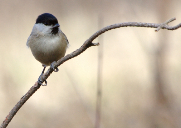 Marsh Tit/Poecile palustris - Photographer: Николай Шопов