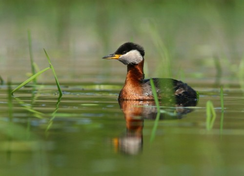 Red-necked Grebe/Podiceps grisegena - Photographer: Илиян Вълчанов