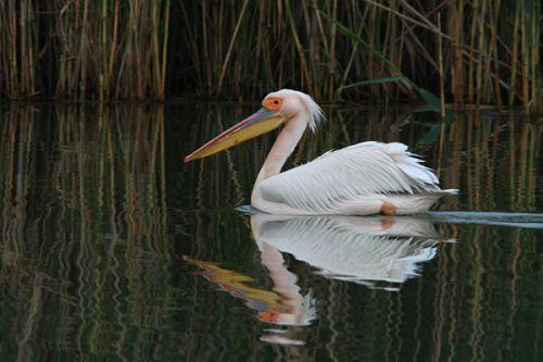 Great White Pelican/Pelecanus onocrotalus - Photographer: Младен Василев