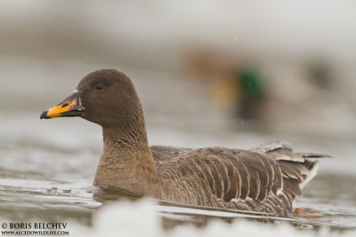 Bean Goose/Anser serrirostris - Photographer: Борис Белчев