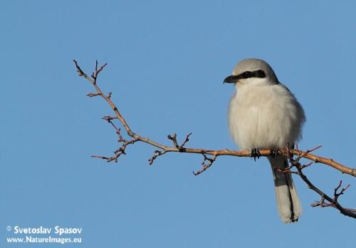 Northern Grey Shrike/Lanius excubitor - Photographer: Светослав Спасов