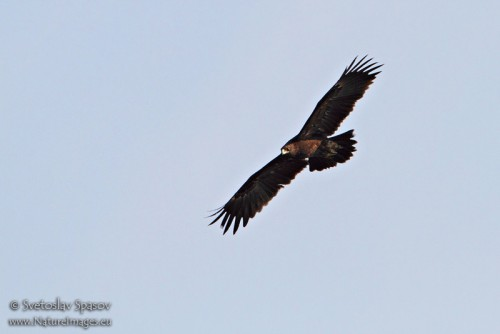Greater Spotted Eagle/Aquila clanga - Photographer: Светослав Спасов