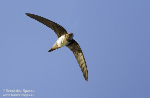 Alpine Swift/Tachymarptis melba - Photographer: Светослав Спасов
