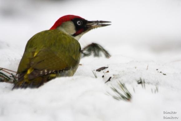 Eurasian Green Woodpecker/Picus viridis - Photographer: Dimitar Dimitrov