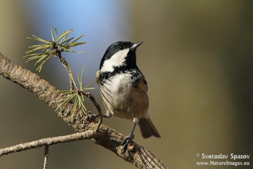Coal Tit/Periparus ater - Photographer: Светослав Спасов