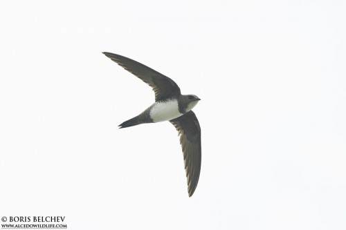 Alpine Swift/Tachymarptis melba - Photographer: Борис Белчев