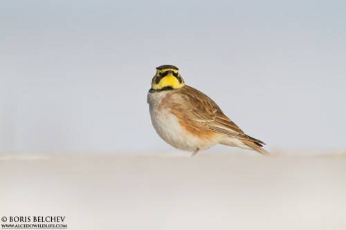 Horned Lark/Eremophila alpestris - Photographer: Борис Белчев