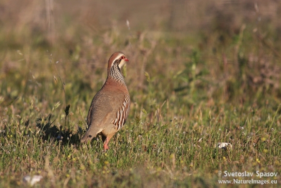 Red-legged Partridge/Alectoris rufa - Photographer: Светослав Спасов