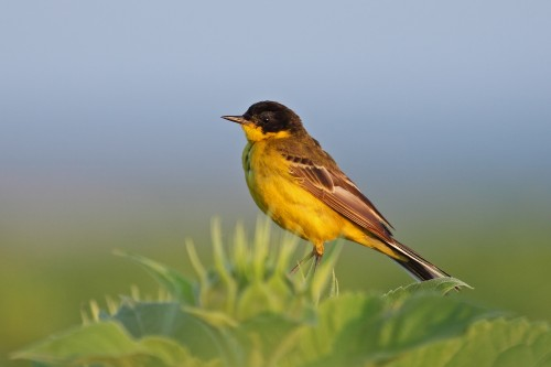 Yellow Wagtail/Motacilla flava - Photographer: Даниел Митев
