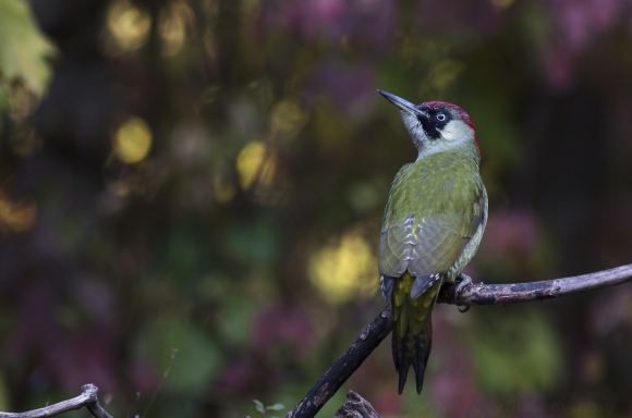 Eurasian Green Woodpecker/Picus viridis - Photographer: Николай Шопов