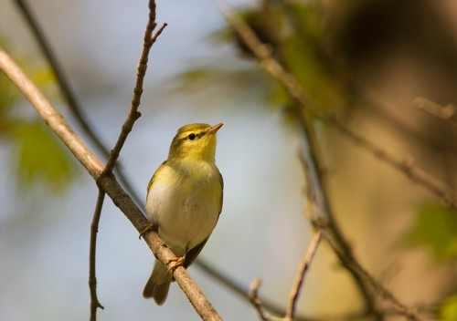 Wood Warbler/Phylloscopus sibilatrix - Photographer: Борис Белчев