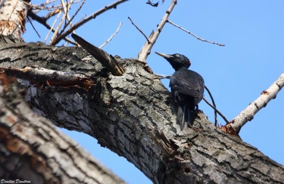 Черен кълвач/Dryocopus martius - Фотограф: Dimitar Dimitrov
