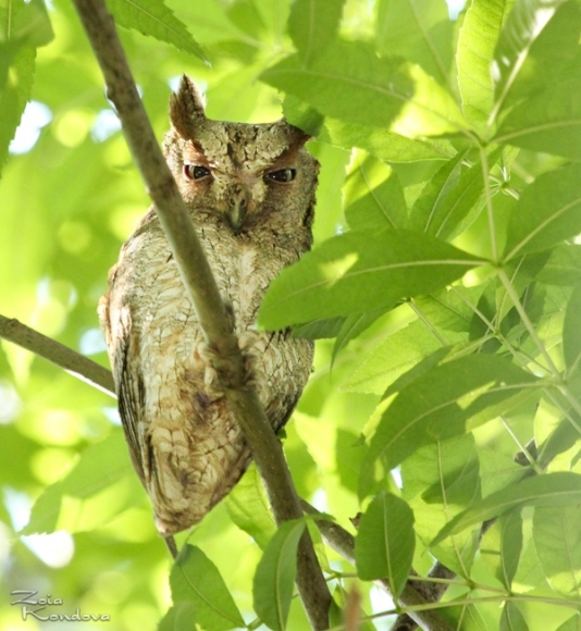 Common Scops-owl/Otus scops - Photographer: Зоя Кондова