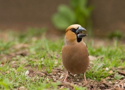 Hawfinch/Coccothraustes coccothraustes - Photographer: Борис Белчев