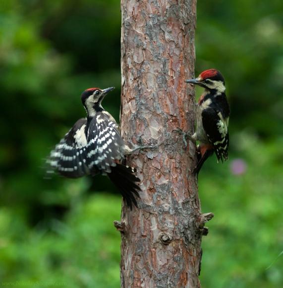 Syrian Woodpecker/Dendrocopos syriacus - Photographer: Николай Шопов