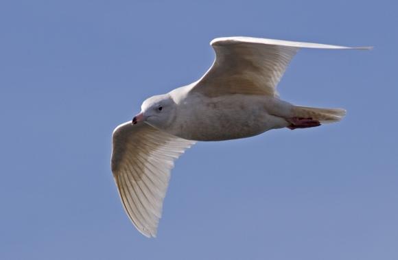 Glaucous Gull/Larus hyperboreus - Photographer: Даниел Митев