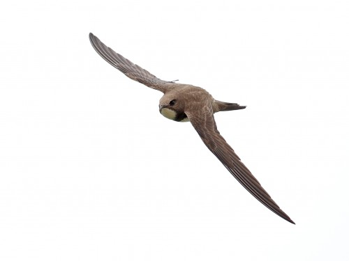 Alpine Swift/Tachymarptis melba - Photographer: Даниел Митев