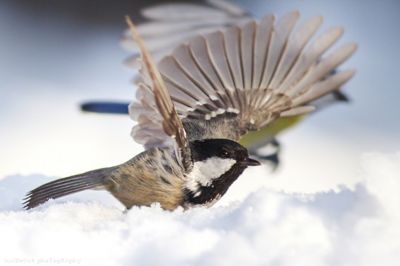 Coal Tit/Periparus ater - Photographer: Николай Шопов