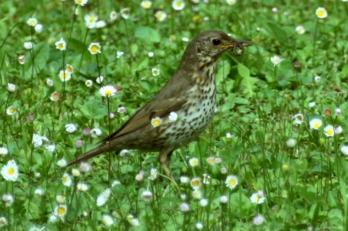 Song Thrush/Turdus philomelos - Photographer: Николай Стоянов