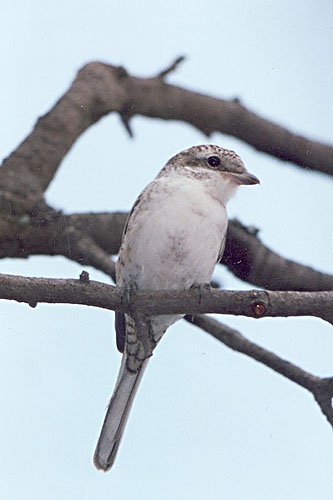 Masked Shrike/Lanius nubicus - Photographer: Виктор Василев