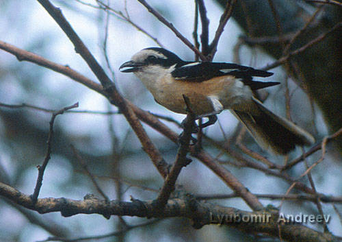 Masked Shrike/Lanius nubicus - Photographer: Любомир Андреев - Лу_пи