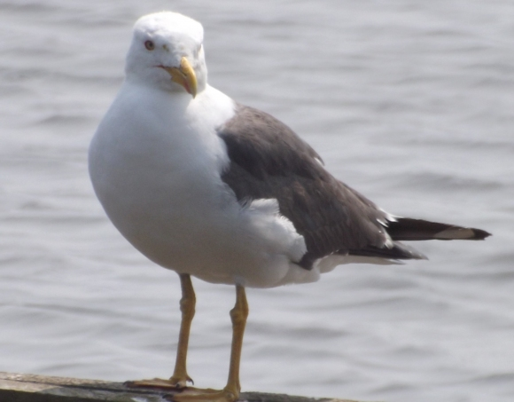 Lesser Black-backed Gull/Larus fuscus - Photographer: Chris Rymer