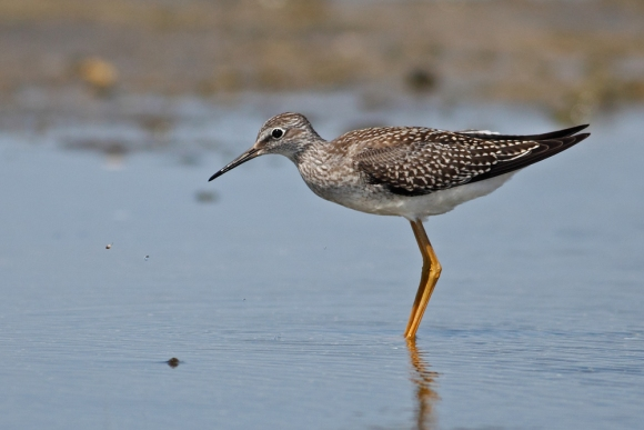 Lesser Yellowlegs/Tringa flavipes - Photographer: Даниел Митев