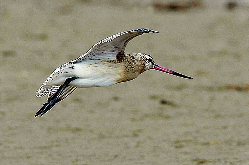 Bar-tailed Godwit/Limosa lapponica - Photographer: Тео Тодоров