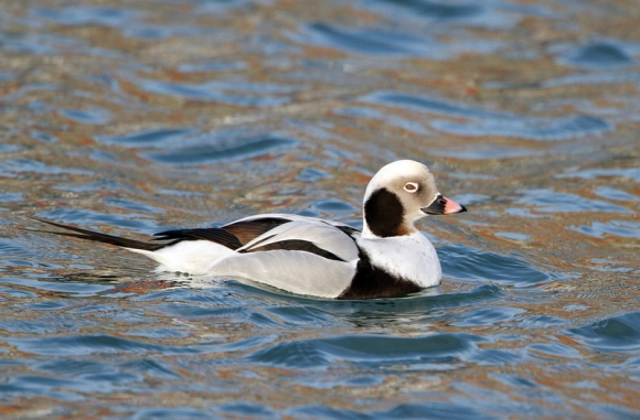 Long-tailed Duck/Clangula hyemalis - Photographer: Dean Eades