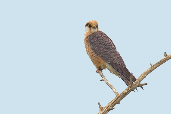 Red-footed Falcon/Falco vespertinus - Photographer: Georgi Slavov