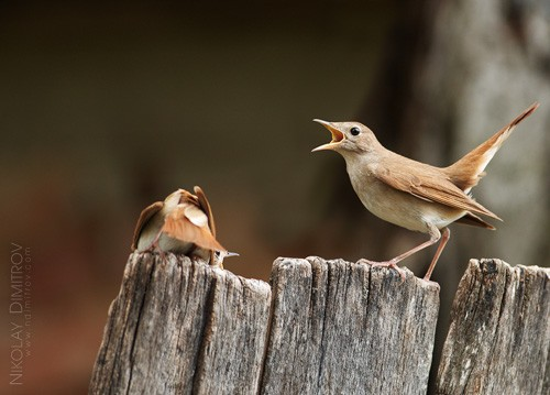 Common Nightingale/Luscinia megarhynchos - Photographer: Николай Димитров