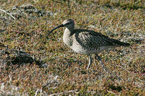 Whimbrel/Numenius phaeopus - Photographer: Димитър Георгиев