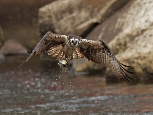 Osprey/Pandion haliaetus - Photographer: Даниел Митев